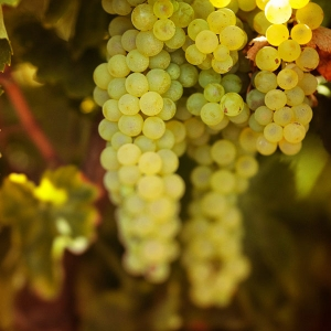 The Riesling Grape